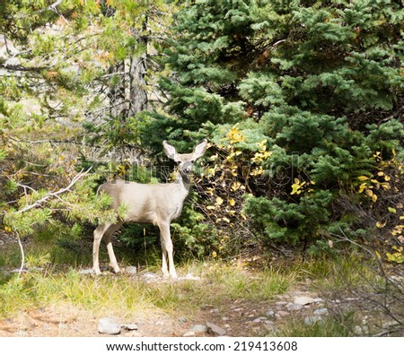 The baby mule deer (Odocoileus hemionus)  standing at the blue tree in the forest and looking at the photographer - stock photo