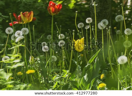 the background of blooming red and yellow tulips and dandelions in the garden - stock photo