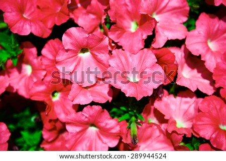 The Background of many pink flower on garden