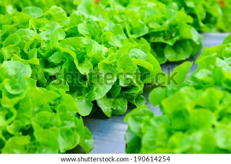 The background of the lettuce farm