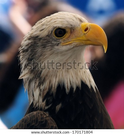 The Bald Eagle / Eagle Profile - stock photo