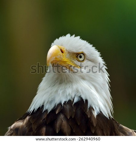 The Bald Eagle (Haliaeetus leucocephalus) portrait - stock photo