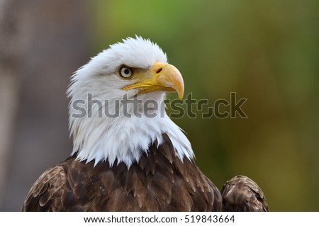 The Bald Eagle (Haliaeetus leucocephalus) portrait