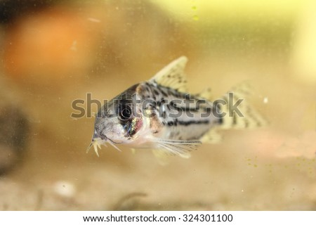 The bands-catfish (Corydoras schwartzi) a popular ornamental fish