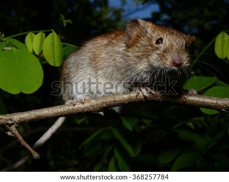 The bank vole is sitting on the twig - stock photo
