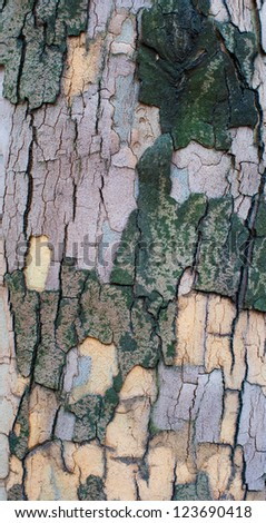 The bark of a sycamore tree. High resolution texture - stock photo