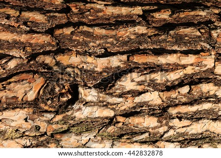 the bark of old pine tree texture, background