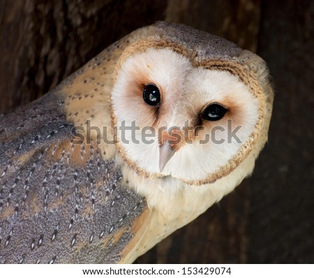 The Barn owl (Tyto alba) is the most widely distributed species of owl, and one of the most widespread of all birds. - stock photo