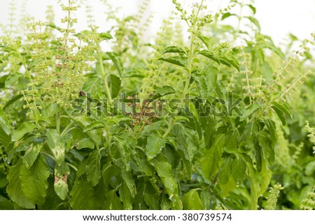 The Basil Plant