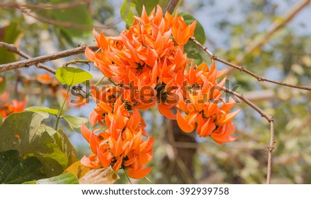 The Bastard Teak blossoming on branches. - stock photo