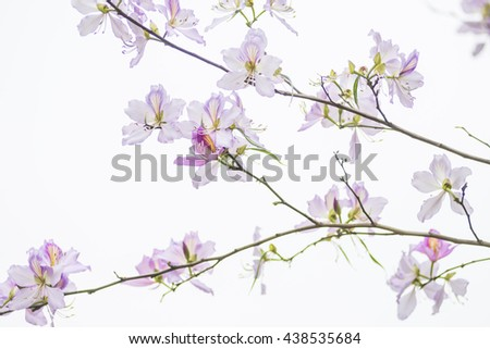 The bauhinia flower is in full bloom. - stock photo