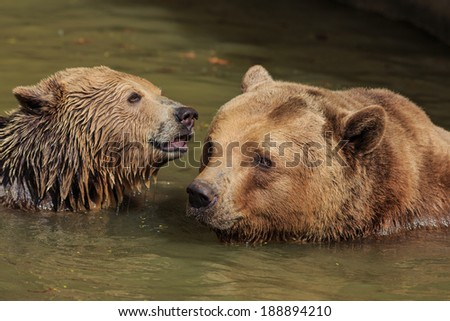 the bear cub in water - stock photo