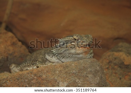 The Bearded Dragon (Pogona) is a genus of the family of Agamas Squamata from