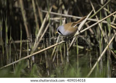 The bearded reedling (Panurus biarmicus) small male bird. - stock photo