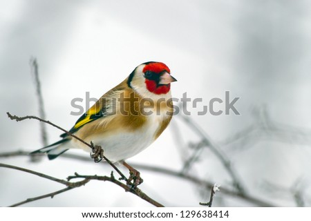 The beautiful and colorful European Goldfinch  (Carduelis carduelis) looking for seed in Uppland, Sweden