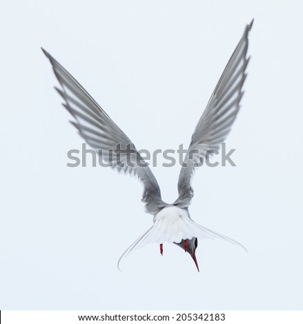 The beautiful and elusive arctic tern