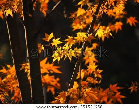 The beautiful autumn leaves with the warm sunlight in autumn
