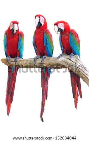 The beautiful birds Greenwinged Macaw isolate on white background. - stock photo