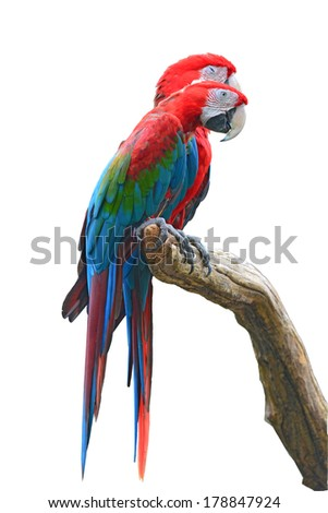 The beautiful birds Greenwinged Macaw isolate on white background.