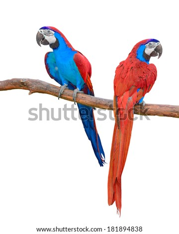 The beautiful birds red and blue macaw isolated on white background.