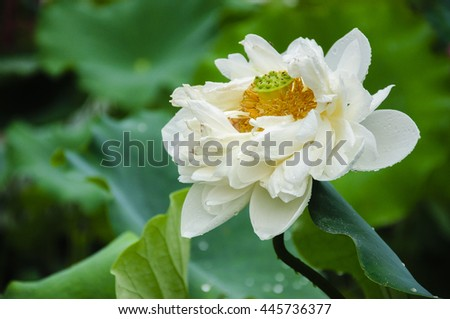 The beautiful blossoming lotus in summer