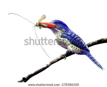 The beautiful blue bird carrying insect in the mouth to feed ther chicks isolated on white background - stock photo