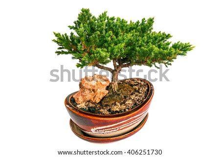 The beautiful Bonsai tree in white background.Isolated - stock photo