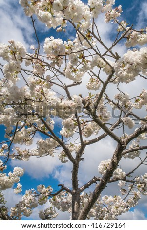The beautiful Branches & flowers of the wild cherry tree / Branches & flowers of the wild cherry tree