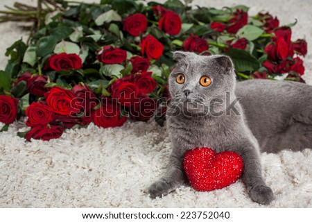 the beautiful British cat and is a lot of red roses  - stock photo