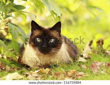 The beautiful brown cat, Siamese, with blue-green eyes lies in a green grass and yellow leaves - stock photo