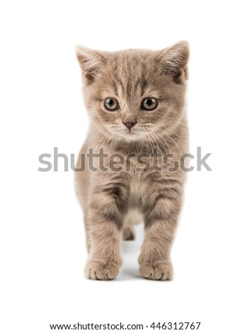 the beautiful brown little  British kitten, sit on white  background , isolated