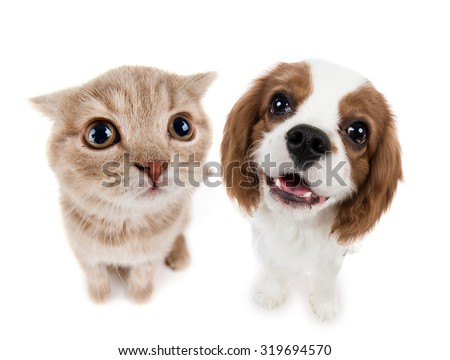 the beautiful brown little kitten with dog, sit on white  background , isolated, closeup  muzzle - stock photo