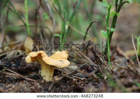 The beautiful chanterelle growing in the wood, close-up photo