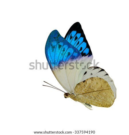 The beautiful flying blue wings butterfly isolated on white background, exotic butterfly