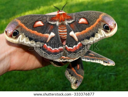 The beautiful giant silk moth butterfly called Cecropia Moth, Hyalaphora cecropia, mating pair - one of the largest butterflies or moths in the world, in a man's hand to show size