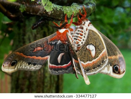 The beautiful giant silk moth butterfly called Cecropia Moth, Hyalaphora cecropia, mating pair - one of the largest butterflies or moths in the world