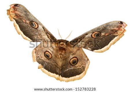 The beautiful giant silk moth butterfly called Cecropia Moth isolated on white background - stock photo