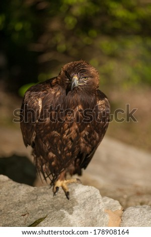 The beautiful Golden Eagle stands perched on a rock ready to chase it's prey. - stock photo