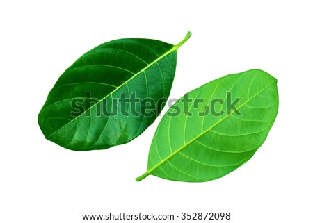 The beautiful green leaves on white background