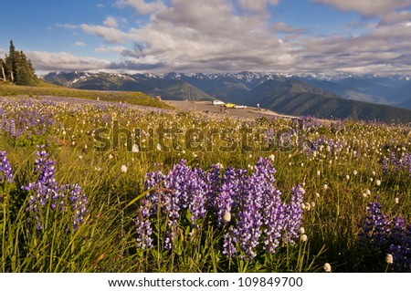 The Beautiful Hurricane Ridge at Olympic National Park with Wildflowers in foreground - stock photo