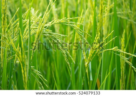The beautiful landscape of rice fields