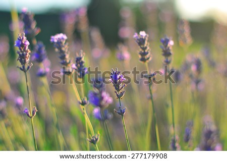 The beautiful lavender blossoming on a meadow in the sunny summer day. - stock photo
