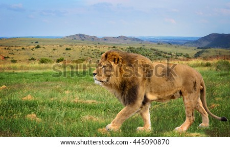 The beautiful lion in African savannah. Wildlife at amazing South African landscape. Traveling to National Parks. Stunning photo of a male lion in african safari with wild animals. Addo. - stock photo