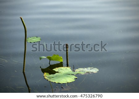 the beautiful lotus flowers, lotus leaves and lotus seed under the sunshine in summer.