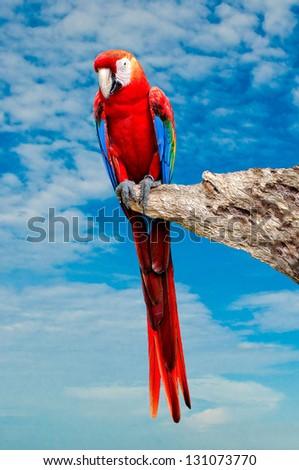 The Beautiful macaw isolated on white background - stock photo