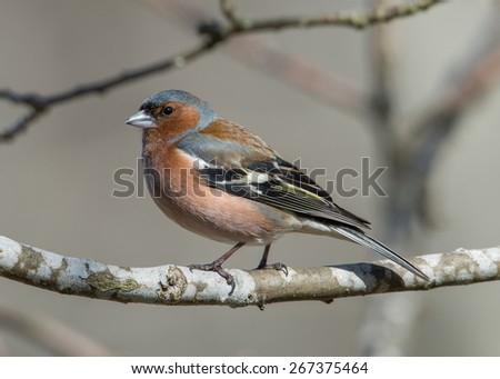 The beautiful male Chaffinch (Fringilla coelebs) on an oak twig in Uppland, Sweden - stock photo