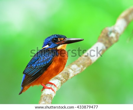 The beautiful male of Blue-eared kingfisher (Alcedo meninting) a little blue bird perching on the branch with sharpness in its feathers