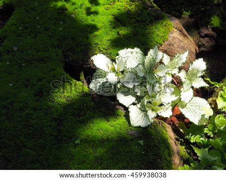 The beautiful of Incident light to a Japanese style garden, decor with moss and white fittonia - stock photo