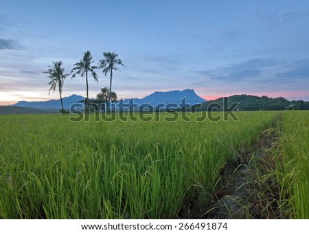 The Beautiful panoramic rural landscape in the morning at paddy field, old hut with trees on background mount kinabalu during sunrise moments. (Shallow DOF, slight motion blur) - stock photo