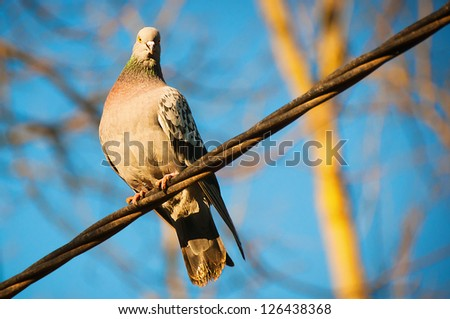 The beautiful pigeon sits on a wire and looks afar - stock photo